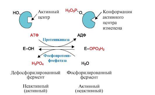 Схема регуляции активности