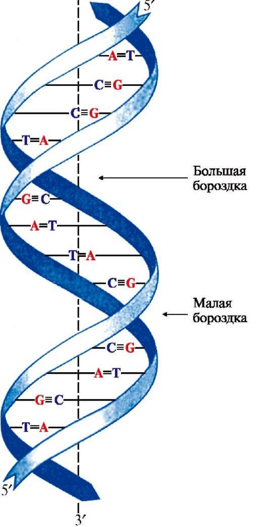 Двойная спираль ДНК.
