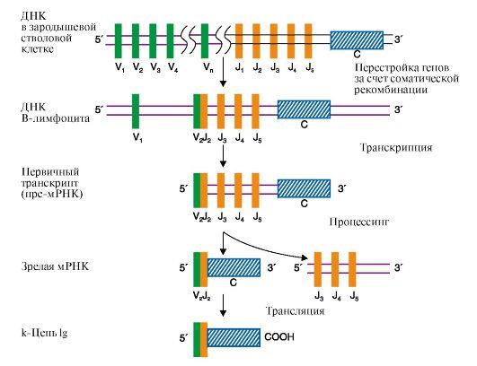 Синтез легкой κ-цепи