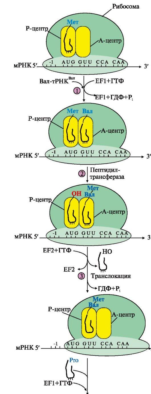 Изобразите схемы белки