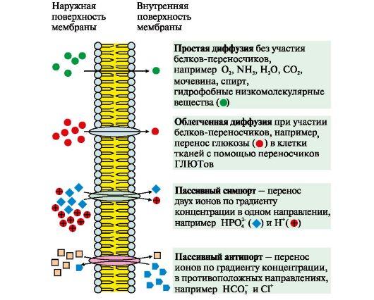 Механизмы переноса веществ