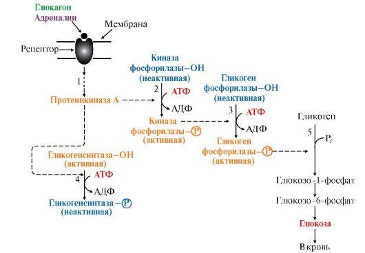 распада гликогена в печени