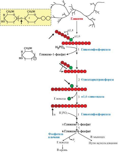и мобилизации гликогена в
