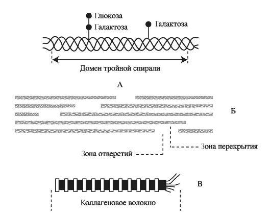 Структура коллагеновых