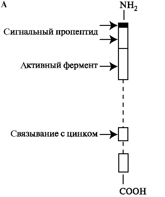 Профермент фото