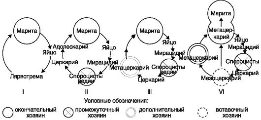 Жизненные циклы трематод: I