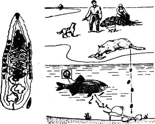 Кошачий сосальщик и цикл его
