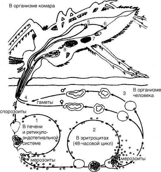 Жизненный цикл P. vivax: 1