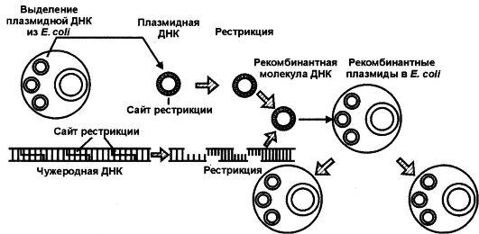 (клонированных генов) и ее
