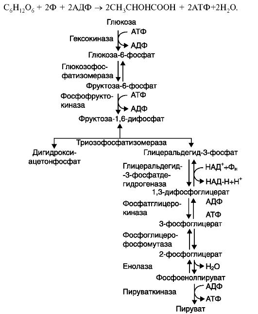 Окисление глюкозы в анаэробных