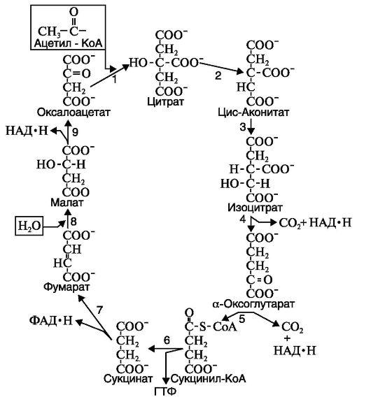 У аэробных организмов гликолиз