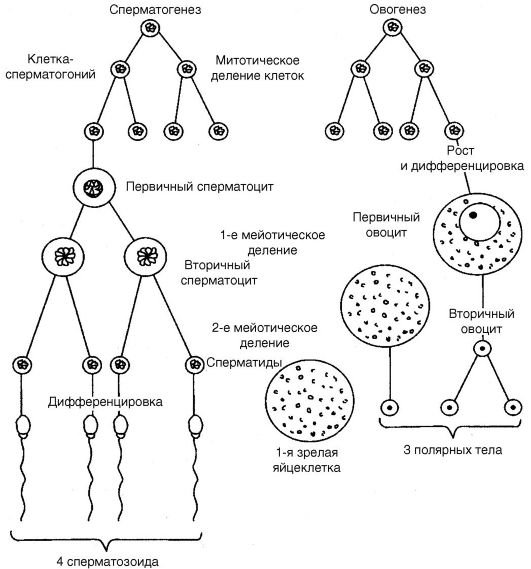 ovo-i-spermatogenez-kartinki