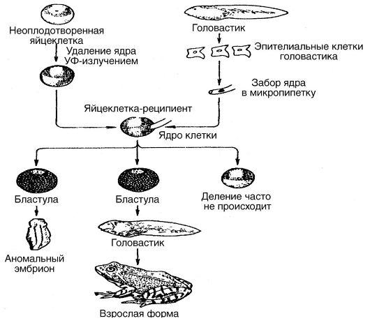 развитие яйцеклеток,