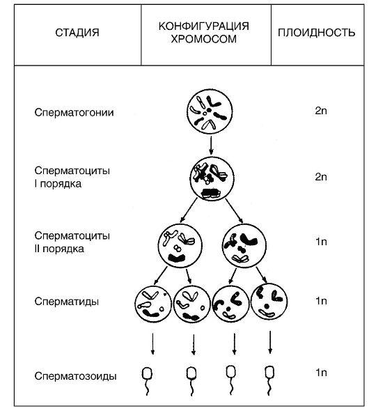 хромосом при гаметогенезе