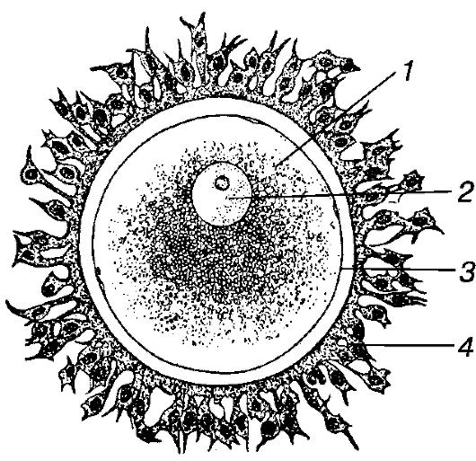 Яйцеклетка млекопитающего.