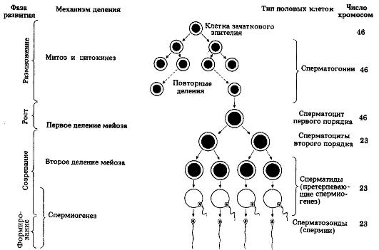 Схема процессов сперматогенеза