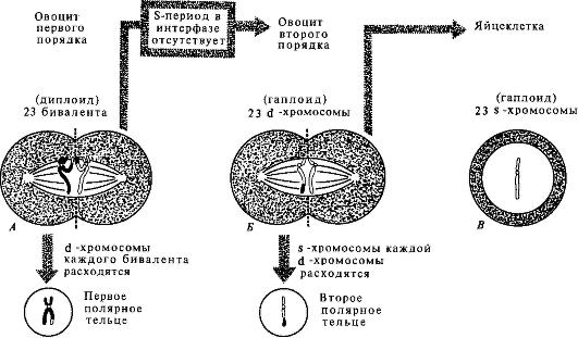 Схема процесса овогенеза у
