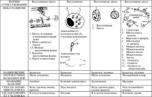 размножение малярийного паразита крови человека