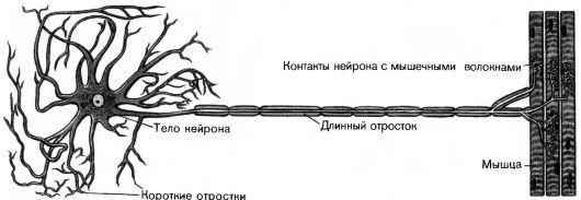 Рис. 129.  Схема строения нервной клетки.