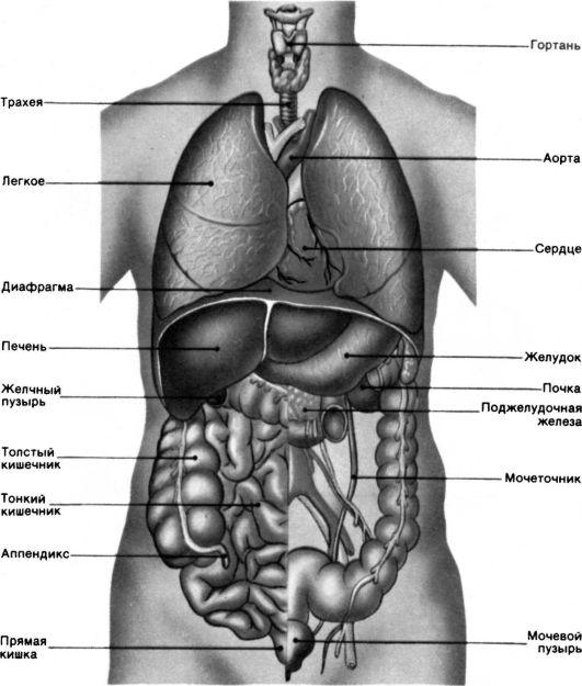 Внутренние органы человека.