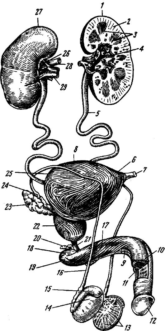 9 - губчатое тело полового
