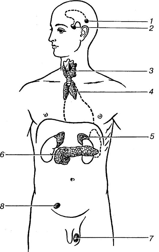 Расположение эндокринных желез