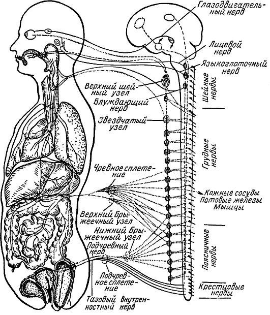 Общая схема строения нервной