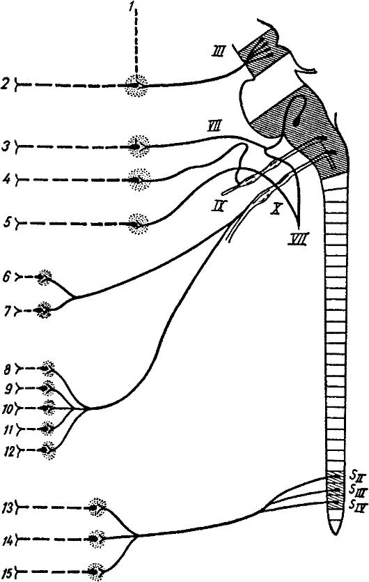 Схема парасимпатической нервной системы (по Виллингеру).  Преганглионарные волокна изображены сплошными линиями...
