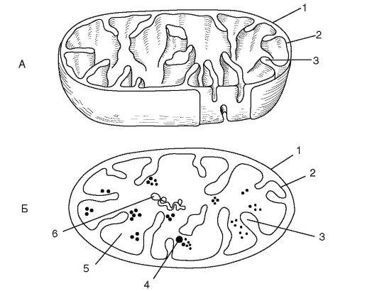 Схемы строения митохондрии в