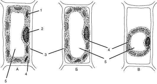Схема плазмолиза: А - клетка в