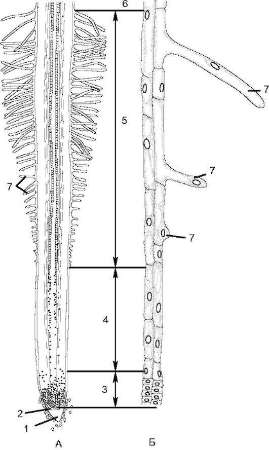 А - схема строения корня;