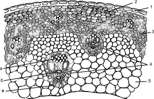 Схема строения соломины ржи: 1