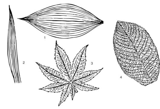 Жилки, входящие в лист от