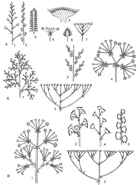 Типы ботрических соцветий: А