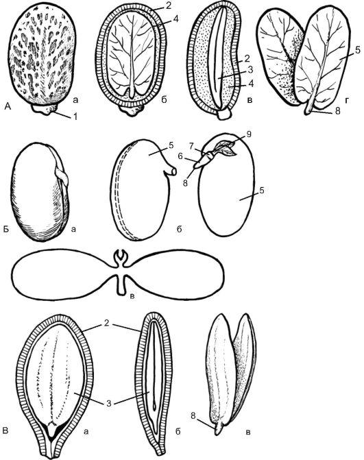 Семена двудольных: клещевины