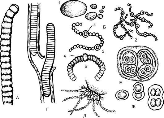 цианобактерий имеет