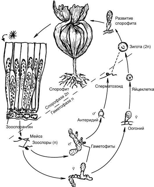 бурой водоросли ламинарии