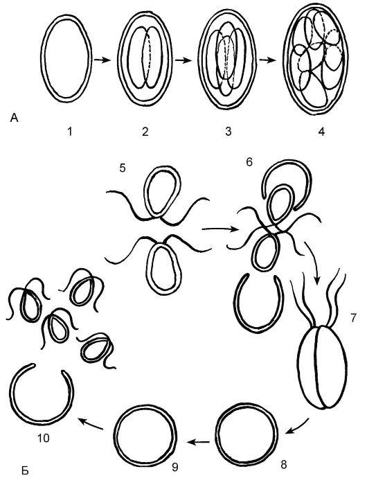 Размножение хламидомонады: