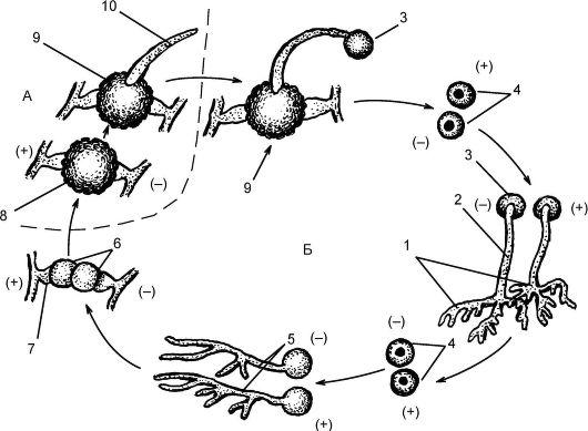 Жизненный цикл мукора (Мuсоr):