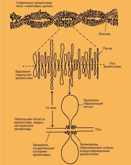симметричные петли