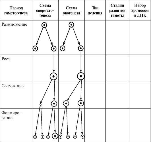Сперматогенез онтогенезе человека
