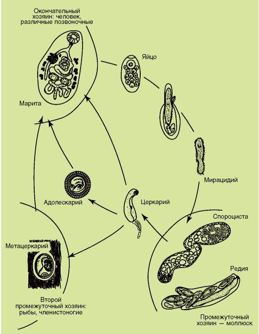 Жизненный Цикл Организации Учебники