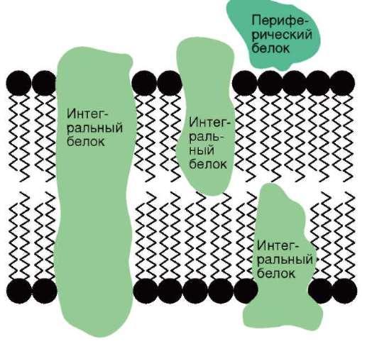 биологической мембраны