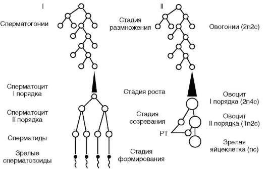 Гаметогенез (схема): I