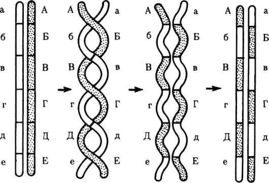 хромосомами (схема): А-Е,