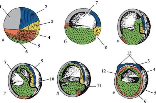 органов на ранних стадиях