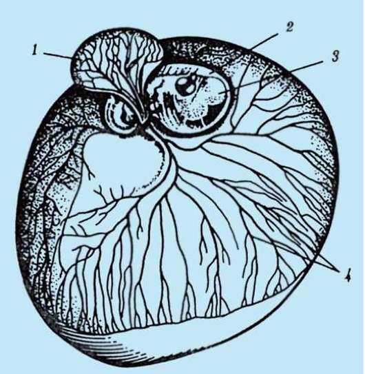 раннее эмбриональное развитие птиц и млекопитающих реферат