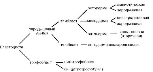 Дифференциация зародышевых
