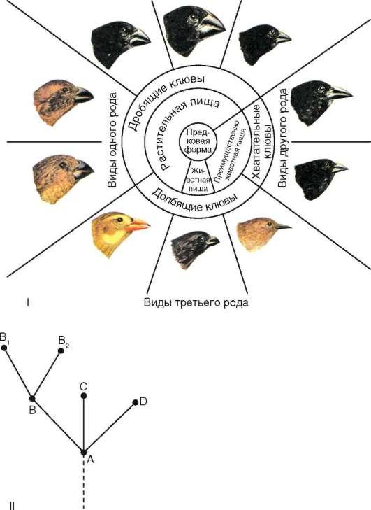 Дивергентная эволюция клювов у