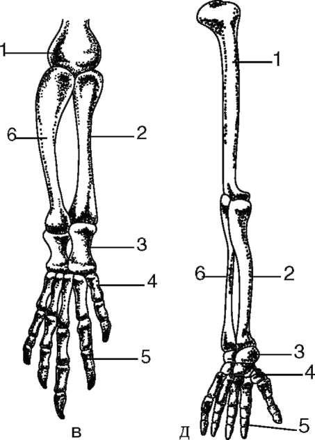 Скелет передней конечности